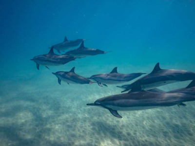 A pod of dolphins swimming