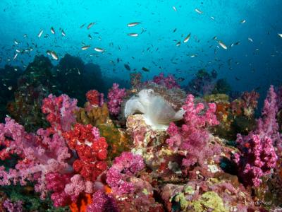 Soft corals at RichelieuRock