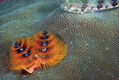 Christmas tube worm by Gerald Rambert