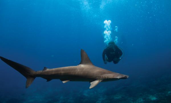 Hammerhead sharks Red Sea Egypt