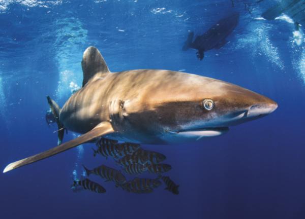 Egypt Oceanic Whitetip Shark Simon Lorenz