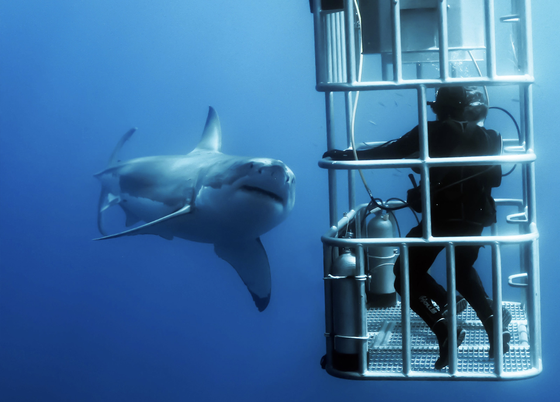 Cage Diving Shark Diving Great