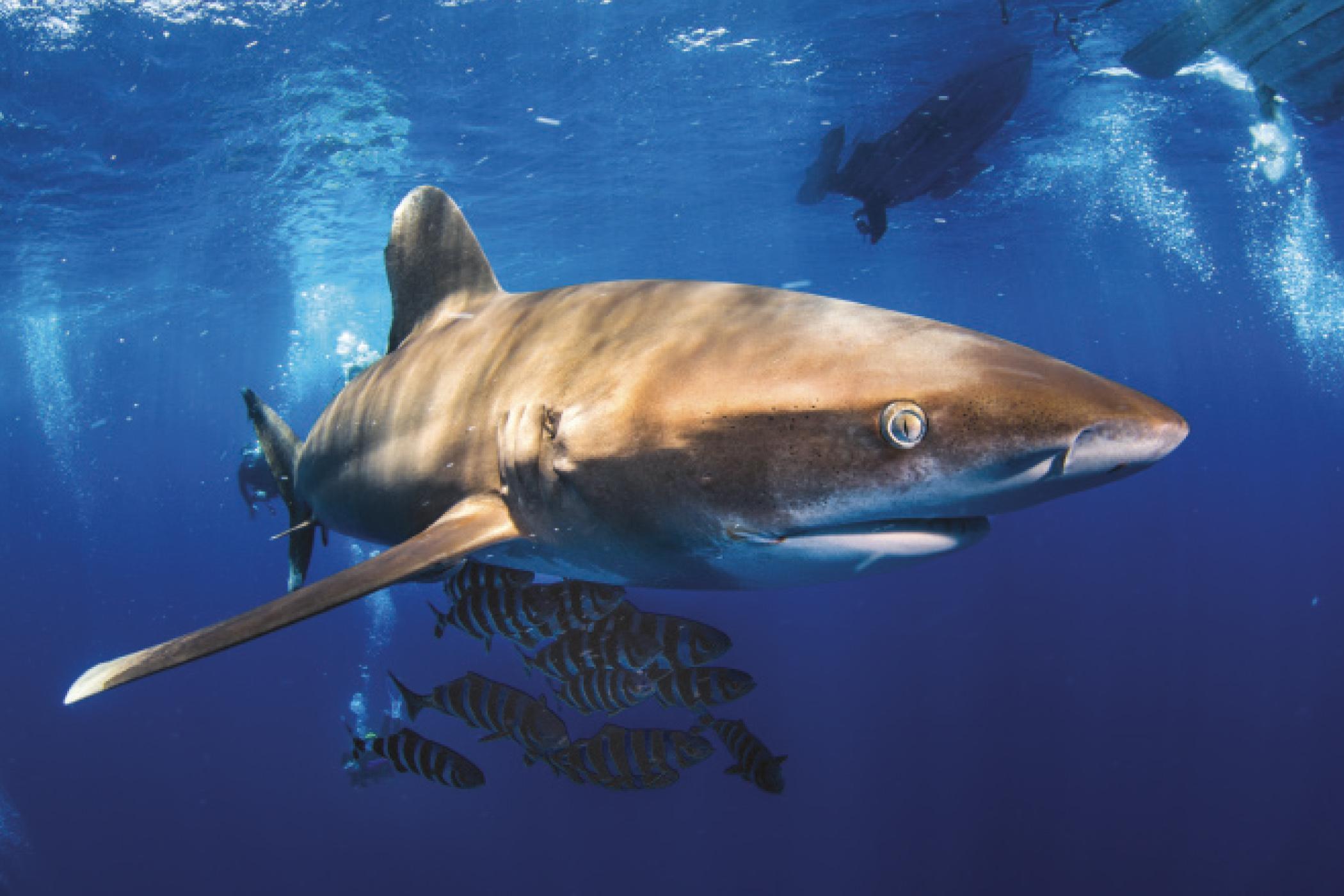 Egypt Shark Simon Lorenz