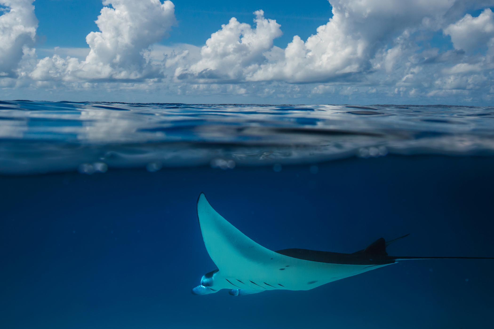 Maldives mantas